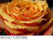 Оранжевая роза с каплями. Стоковое фото, фотограф Марина Рябущиц / Фотобанк Лори