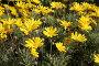 Желтые хризантемы, фото № 1283553, снято 3 декабря 2009 г. (c) Наталья Волкова / Фотобанк Лори