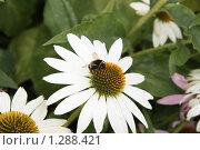 Шмель на цветке. Стоковое фото, фотограф Дмитрий Сушкин / Фотобанк Лори