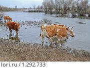 Купить «Коровы около воды», эксклюзивное фото № 1292733, снято 9 апреля 2009 г. (c) Алёшина Оксана / Фотобанк Лори