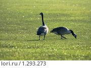 Гуси на траве. Стоковое фото, фотограф Андрей / Фотобанк Лори