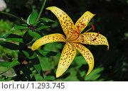 Купить «Лилия желтая», эксклюзивное фото № 1293745, снято 19 июля 2009 г. (c) lana1501 / Фотобанк Лори