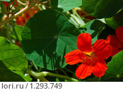 Настурция (Tropaeolum) Стоковое фото, фотограф lana1501 / Фотобанк Лори