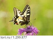 Купить «Махаон на цветах василька лугового», фото № 1299877, снято 16 сентября 2019 г. (c) Александр Савушкин / Фотобанк Лори