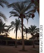 Египет пальмы (2009 год). Стоковое фото, фотограф Николаева Елена Сергеевна / Фотобанк Лори
