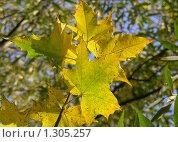 Купить «Кленовые листья», эксклюзивное фото № 1305257, снято 26 сентября 2009 г. (c) lana1501 / Фотобанк Лори