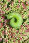 Гусеница бражника в саду на цветке (Седум), фото № 1310937, снято 29 августа 2009 г. (c) Икан Леонид / Фотобанк Лори