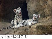 Купить «Детеныши белого тигра», фото № 1312749, снято 21 июня 2008 г. (c) Денис Ларкин / Фотобанк Лори