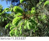 Молодая зеленая хвоя. Стоковое фото, фотограф Андрей Дегтярев / Фотобанк Лори