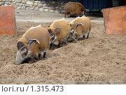 Купить «Дикий кабан», фото № 1315473, снято 30 мая 2006 г. (c) Акоп Васильян / Фотобанк Лори