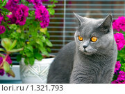 Купить «Британский серый кот», фото № 1321793, снято 22 августа 2009 г. (c) Анна Лурье / Фотобанк Лори