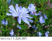 Купить «Цикорий обыкновенный», эксклюзивное фото № 1324381, снято 10 июля 2008 г. (c) lana1501 / Фотобанк Лори