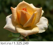 Светло-оранжевая роза. Стоковое фото, фотограф Галина Король / Фотобанк Лори