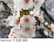 Черешня цветет. Стоковое фото, фотограф Мишарин Константин / Фотобанк Лори