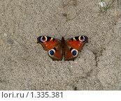 Купить «Бабочки острова Кунашир: павлиний глаз», фото № 1335381, снято 17 сентября 2019 г. (c) Александр Огурцов / Фотобанк Лори