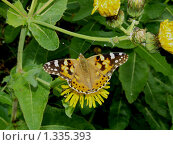 Купить «Бабочки острова Кунашир: репейница», фото № 1335393, снято 17 сентября 2019 г. (c) Александр Огурцов / Фотобанк Лори
