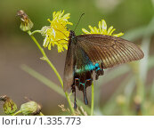 Купить «Бабочки острова Кунашир: махаон Маака», фото № 1335773, снято 17 сентября 2019 г. (c) Александр Огурцов / Фотобанк Лори