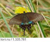 Купить «Бабочки острова Кунашир: махаон Маака», фото № 1335781, снято 17 сентября 2019 г. (c) Александр Огурцов / Фотобанк Лори