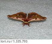 Купить «Бабочки острова Кунашир: ночной павлиний глаз», фото № 1335793, снято 17 сентября 2019 г. (c) Александр Огурцов / Фотобанк Лори