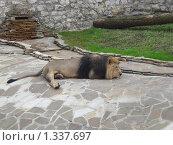 Спящий лев в Московском зоопарке. Стоковое фото, фотограф Олег Вихарев / Фотобанк Лори