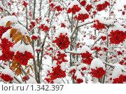 Гроздья рябины присыпаны свежим снегом. Стоковое фото, фотограф Андрей Дегтярев / Фотобанк Лори