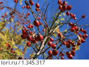 Красные плоды на фоне яркого неба. Стоковое фото, фотограф Анастасия Селивёрстова / Фотобанк Лори