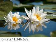 Белые лилии. Стоковое фото, фотограф Александр Задирака / Фотобанк Лори