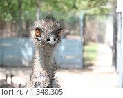 Купить «Страус», фото № 1348305, снято 27 июня 2007 г. (c) Вячеслав Палес / Фотобанк Лори