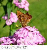 Бабочка перламутровка на цветке гвоздики. Стоковое фото, фотограф Щеголева Ольга / Фотобанк Лори