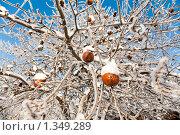 Купить «Зимние яблоки», фото № 1349289, снято 3 января 2010 г. (c) Алексей Калашников / Фотобанк Лори