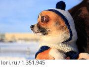 Купить «Портрет собаки породы чихуахуа в шапочке на прогулке зимой», эксклюзивное фото № 1351945, снято 1 января 2010 г. (c) Яна Королёва / Фотобанк Лори