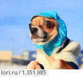 Купить «Портрет собаки породы чихуахуа в шапочке на прогулке зимой», фото № 1351985, снято 1 января 2010 г. (c) Яна Королёва / Фотобанк Лори