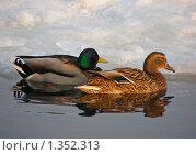 Купить «Плавающие утки», эксклюзивное фото № 1352313, снято 18 марта 2009 г. (c) lana1501 / Фотобанк Лори