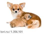 Купить «Собака породы чихуахуа и щенок», фото № 1356101, снято 8 января 2010 г. (c) Vladimir Suponev / Фотобанк Лори