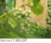 Гроздь неспелого винограда. Стоковое фото, фотограф Сергей Шихов / Фотобанк Лори