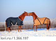 Купить «Две лошади», фото № 1366197, снято 11 января 2010 г. (c) Яна Королёва / Фотобанк Лори