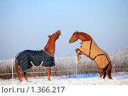 Купить «Две лошади», фото № 1366217, снято 11 января 2010 г. (c) Яна Королёва / Фотобанк Лори