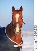 Купить «Портрет лошади», фото № 1366333, снято 11 января 2010 г. (c) Яна Королёва / Фотобанк Лори