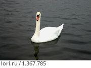 Лебедь. Стоковое фото, фотограф Сергей Зимушин / Фотобанк Лори