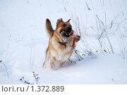 Купить «Овчарка играет на зимней прогулке», фото № 1372889, снято 3 января 2010 г. (c) Анастасия Некрасова / Фотобанк Лори