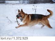 Купить «Овчарка играет на зимней прогулке», фото № 1372929, снято 3 января 2010 г. (c) Анастасия Некрасова / Фотобанк Лори