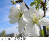 Цветы весны. Стоковое фото, фотограф Ольга Златкина / Фотобанк Лори