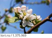 Цветы яблони. Стоковое фото, фотограф Елена Ильина / Фотобанк Лори