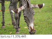 Купить «Зебра на траве», фото № 1376441, снято 6 сентября 2008 г. (c) Владимир Журавлев / Фотобанк Лори