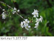 Цветы яблони. Стоковое фото, фотограф Татьяна Вишнякова / Фотобанк Лори