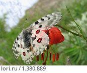 Купить «Бабочка аполлон на красном цветке», фото № 1380889, снято 7 июля 2006 г. (c) Елена Боброва / Фотобанк Лори