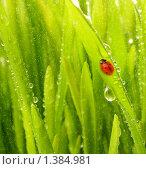 Купить «Божья коровка на мокрой траве», фото № 1384981, снято 23 марта 2008 г. (c) Andrejs Pidjass / Фотобанк Лори
