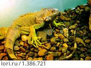 Игуана,рептилия,ящерица. Стоковое фото, фотограф Андрей Дегтярев / Фотобанк Лори