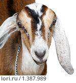 Купить «Нубийская коза», фото № 1387989, снято 12 августа 2009 г. (c) Nataliya Sabins / Фотобанк Лори
