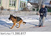 Купить «Буксировка лыжника собакой», фото № 1390817, снято 17 января 2010 г. (c) Андрей Стогов / Фотобанк Лори